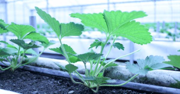 ムスカ肥料を施肥した遊士屋農園のイチゴ株