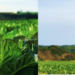 ドローンを使ってスマート農業を実現!農薬不使用のケール栽培を効率的かつ継続可能に
